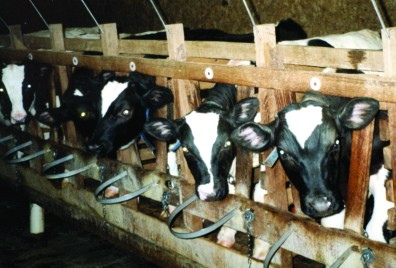 Factory Farming Images. No additional information is known at this time. Keywords: Cow, Animal Abuse, Animal Cruelty, Cruel Confinement of Farm Animals, Cruel Slaughter Practices, Factory Farming, Campaigns, Investigations, Protect Farm Animals
